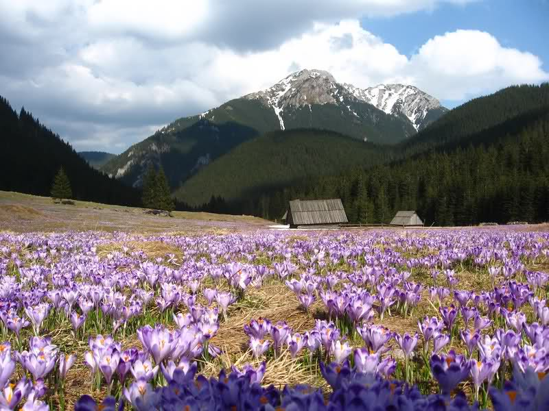 Chocholowska Valley, blossoming crocuses